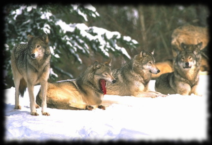 Alaskan Malamute | Der Wolf